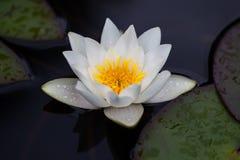 Лилия воды - фото запаса Стоковые Фотографии RF
