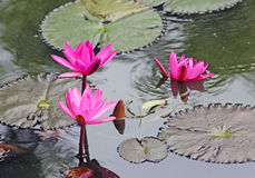 Лилия воды Стоковая Фотография RF
