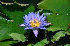 Лилия воды Стоковая Фотография