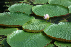 Лилия воды Стоковые Фото