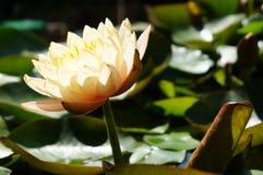 Лилия воды - 3 Стоковое Изображение