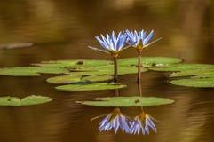 Лилия воды, Bangweulu, Замбия стоковые фотографии rf