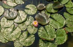 Лилия воды fabiola Стоковое Изображение