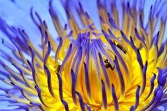 Лилия воды Nymphaea Стоковое Фото