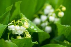 Лилия в мае Стоковые Изображения RF