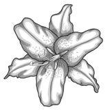 Лилия в стиле черно-белой гравировки. иллюстрация штока
