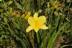 Лилия в цветени Стоковые Изображения RF