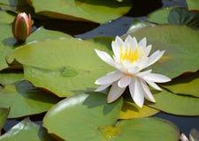 Лилия в цветени Стоковая Фотография