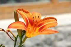 Лилия горы Стоковые Изображения