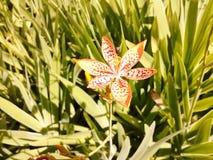Лилия леопарда (Belamcanda chinensis) Стоковые Фотографии RF