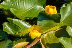 Лилия желтого пруда Стоковые Изображения RF