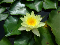 Лилия желтой воды на зеленых листьях стоковое фото
