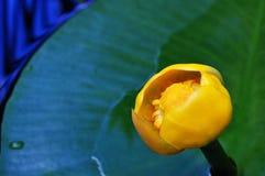 Лилия желтой воды Стоковое Изображение