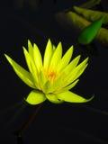 Лилия желтой воды стоковые изображения rf
