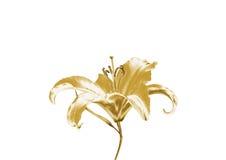 Лилия золота Стоковые Изображения RF