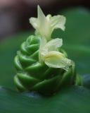 Лилия имбиря конуса сосны Стоковые Изображения