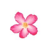 Лилия импалы на белизне Стоковое Фото