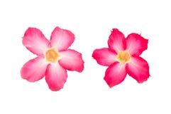 Лилия импалы на белой предпосылке Стоковое Изображение