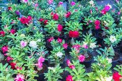 Лилия импалы Стоковые Фото
