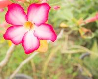 Лилия импалы Стоковые Фотографии RF