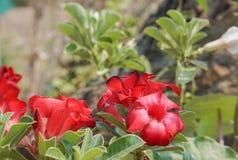 Лилия импалы Стоковая Фотография