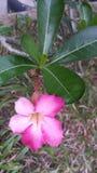 Лилия импалы Стоковая Фотография RF