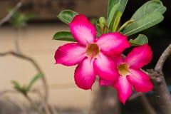 Obesum Adenium Adenium лилии импалы Стоковая Фотография RF