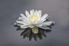 Лилия и отражение белой воды Стоковая Фотография RF