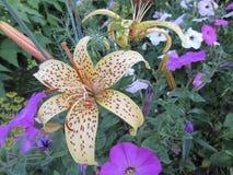 Лилия и петунья Стоковые Фотографии RF