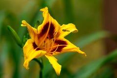 Лилия и пчела Стоковые Изображения