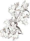 Лилия иллюстрации цветет monochrome Стоковые Фотографии RF