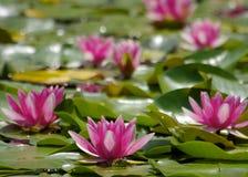 Лилия и лягушка воды Стоковая Фотография