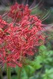 Лилия красного паука - radiata Lycoris Стоковое Изображение