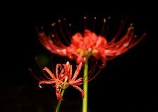 Лилия красного спайдера Стоковое Изображение