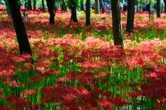 Лилия красного спайдера Стоковая Фотография RF