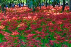 Лилия красного спайдера Стоковые Изображения RF