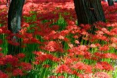Лилия красного спайдера Стоковое фото RF