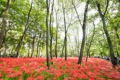 Лилия красного спайдера Стоковое Фото