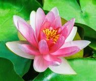 Лилия красной воды Стоковые Фото