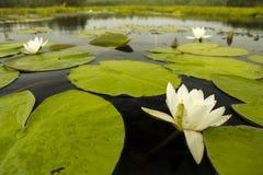 Лилия на реке Стоковое Изображение RF