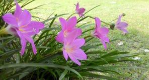 Лилия дождя Стоковое Изображение RF