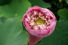 Лилия лотоса или воды, красивая вода цветет Стоковая Фотография