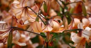 Лилия Одно из много Стоковое фото RF