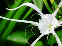 Лилия паука Стоковые Изображения RF