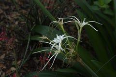 Лилия паука Стоковая Фотография
