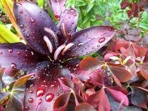 Лилия после дождя Стоковая Фотография