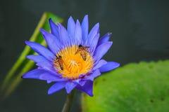 Лилия пчелы и воды Стоковые Фото