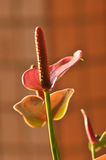 Лилия розового calla Стоковое фото RF
