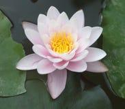 Лилия сирени на воде в пруде Стоковое фото RF