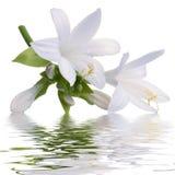 Лилия с отражением Стоковое фото RF